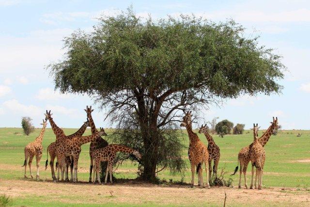 Giraffes 2 (3)
