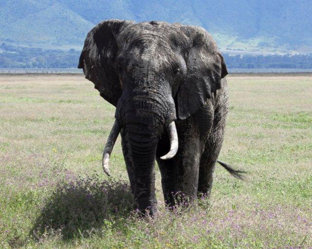 aaaa elephant
