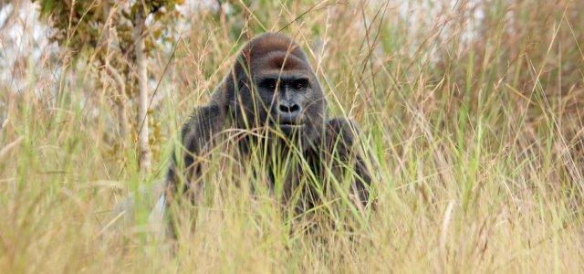 gorilla feature 2