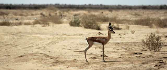 gazelle coast