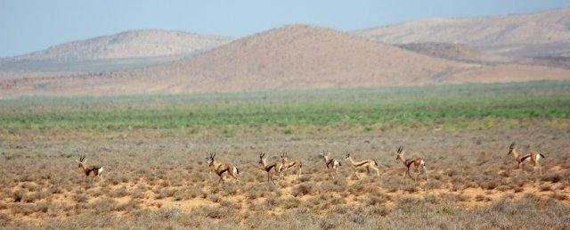 gazelle plateau