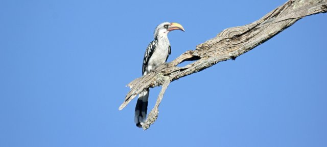 Hornbill yellow