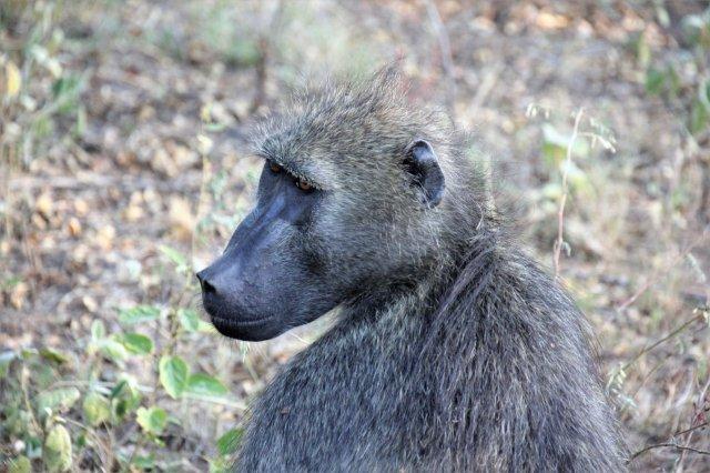 Baboon SA2