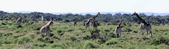 giraffes kruger 56