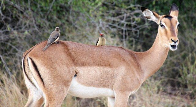 Impala Ox SA3