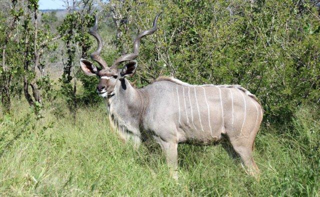 Kudu Sa2
