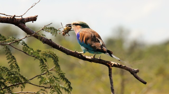 Lilac Breasted Roller SA