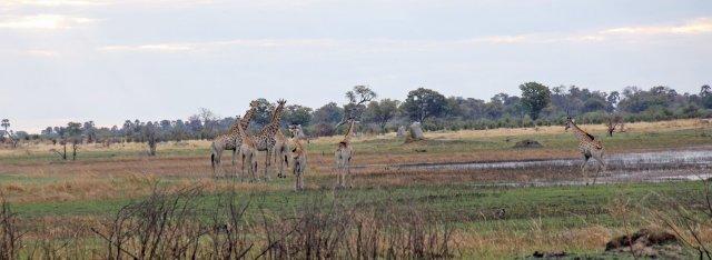 Giraffes Okavango walking safari