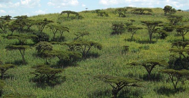 Acacia Nukuru