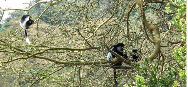 Kenya Colobus