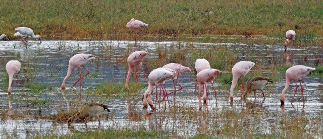 Nakuru flamingo 2