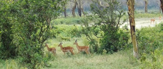 Nakuru Impala 2