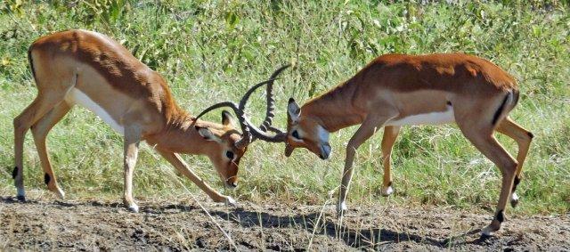 Nakuru Impala