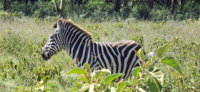 Nakuru Zebra 2