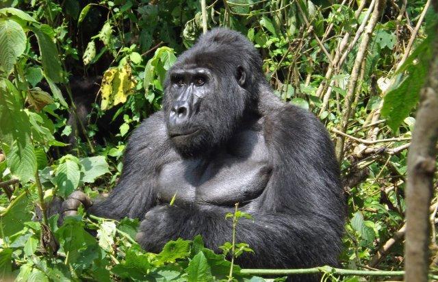 Uganda Gorilla 2